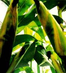 Kỹ thuật trồng giống bắp lai BIOSEED 9696