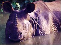 Nepal mất dần loài tê giác hiếm