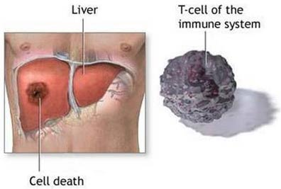 Tạo tế bào gan từ mỡ dưới da
