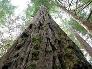 Phát hiện mới về những cái cây cao nhất thế giới