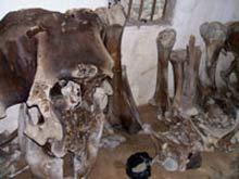 Đào được bộ xương voi nặng hơn 500 kg tại Nghệ An