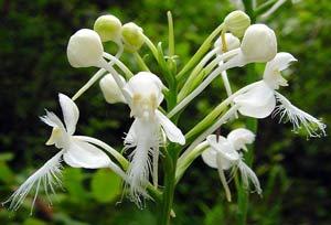Làm sao để lan rừng nở hoa?