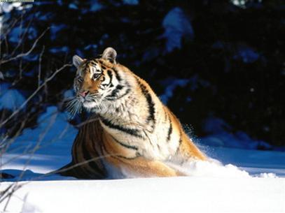 Trung Quốc thụ tinh nhân tạo cho hổ Siberia