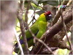 Chim vẹt mào trước nguy cơ tuyệt chủng