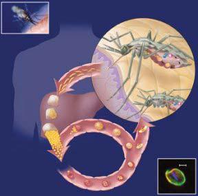 Các nhà nghiên cứu tìm ra thuốc ngăn chặn ký sinh trùng gây sốt rét