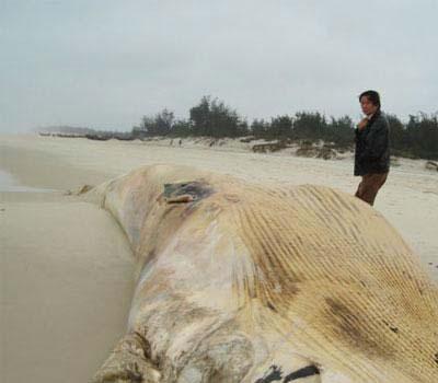 Quảng Bình: cá voi trắng nặng 10 tấn dạt vào bờ biển