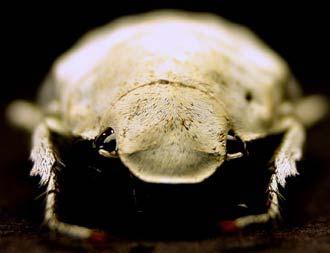 Loài bọ hung có màu trắng sáng lạ lùng