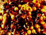 Ong thay nhau điều hòa nhiệt độ trong tổ