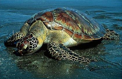 Rùa biển xanh Chelonia Mydas