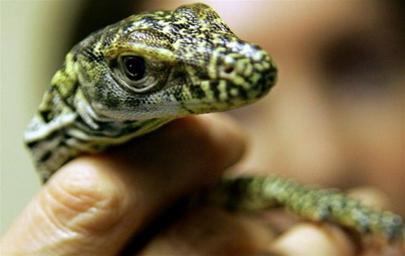 Năm rồng con Komodo chào đời bằng đường sinh sản đơn tính