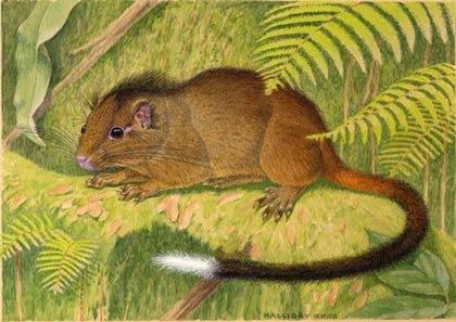 Peru: Phát hiện động vật gặm nhấm mới tương tự loài sóc