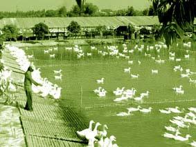 Mô hình nuôi gia cầm theo phương pháp an toàn sinh học tại An Giang.