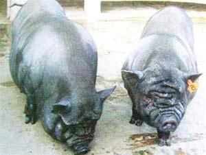 Lợn ỉ mỡ đang được nuôi giữ giống tại Viện Chăn nuôi