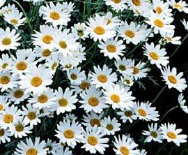 Quy trình nhân giống hoa cúc