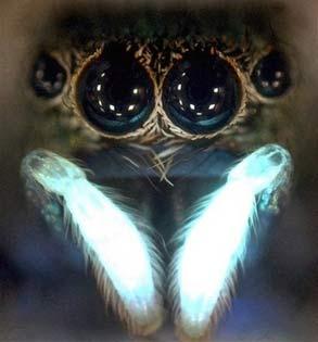 Ánh sáng kích thích ham muốn tình dục ở loài nhện