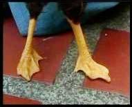 Đầu gà chân... vịt