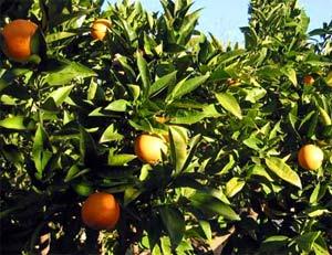 Giải pháp mới ngừa bệnh cho cây có múi