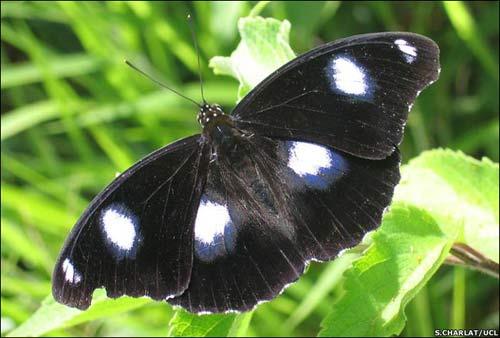 Bướm đực càng hiếm, bướm cái càng khao khát