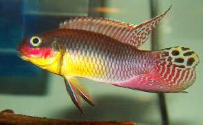 Quan hệ cận huyết có lợi cho cá