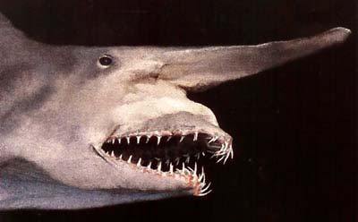 """Tìm thấy """"hoá thạch sống"""" của loài cá mập ma"""