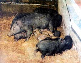 Vào chuồng bắt... lợn rừng