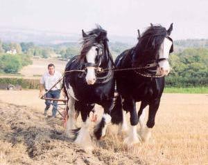 Kỹ thuật nuôi dưỡng ngựa làm việc