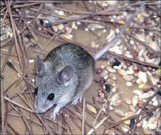 Nhân bản chuột thành công từ tế bào gốc da