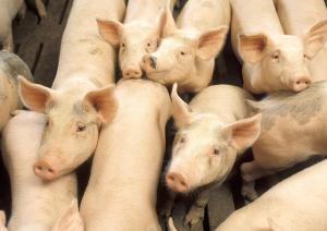 Vaccine mới giúp chống lại một loại virus nguy hiểm trên lợn
