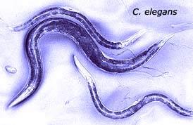 Giun C.elegans