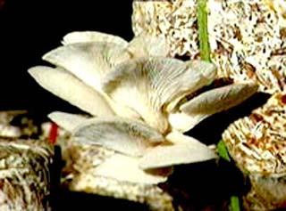 Trồng nấm bào ngư trên bụi xơ dừa