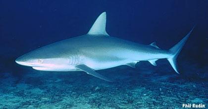 IUCN: Cá mập có nguy cơ tuyệt chủng!