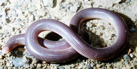 Tái phát hiện loài rắn mù ở Madagascar