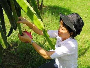 Phương pháp trồng cây thanh long ruột đỏ (Đài Loan)