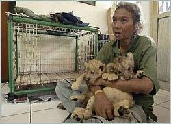 Indonesia: Giảm đáng kể số lượng cọp Sumatra và đười ươi