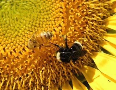 Ong mật giúp cảnh báo chất độc