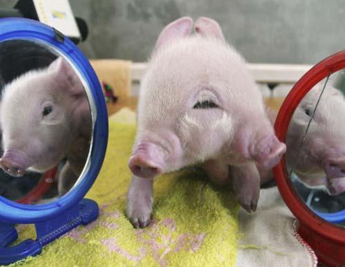 Lợn 2 đầu