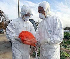 Cúm gia cầm bùng phát trở lại ở Hàn Quốc