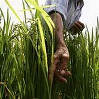 Gạo mang gene người