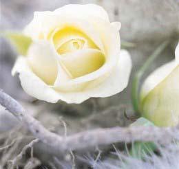 Hương hoa hồng - ''liều thuốc'' cải thiện trí nhớ