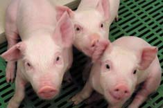 Đài Loan: Tạo giống lợn biến đổi gien để ghép nội tạng cho người