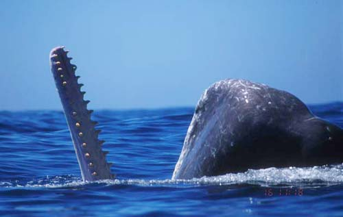 Cá voi săn mực khổng lồ như thế nào?