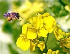 Loài ong biết phân biệt hình phạt và phần thưởng