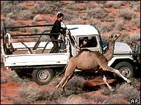 Úc: lạc đà một bướu có nguy cơ bị giết hàng loạt