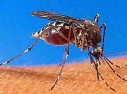 """Muỗi """"diệt"""" sốt rét"""