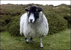Cừu nhỏ đi do hiệu ứng nhà kính