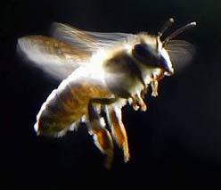 Các đàn ong mất tích bí ẩn