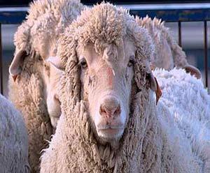 Cừu lai... người