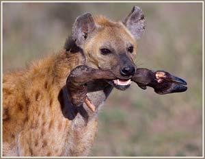Ăn thịt đồng loại thường xảy ra đơn lẻ