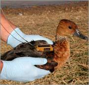 Truy tìm virus H5N1 bằng cách theo dõi chim qua vệ tinh