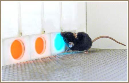 Cấy gene giúp chuột có thị lực như người